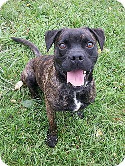 Pug/Boxer Mix Dog for adoption in Lisbon, Ohio - Adam