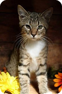 Domestic Shorthair Cat for adoption in Germantown, Maryland - Harry Potter