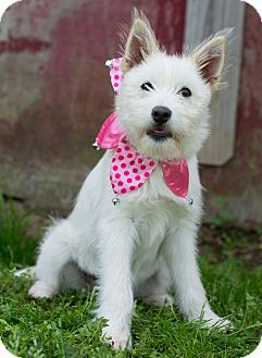 Terrier (Unknown Type, Medium) Mix Puppy for adoption in Glastonbury, Connecticut - Patchouli