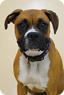 Boxer Mix Dog for adoption in Dublin, California - Dexter