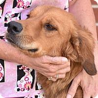 Adopt A Pet :: Venus - New Canaan, CT