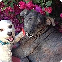 Adopt A Pet :: Angelita**Video - Pasadena, CA