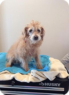 Poodle (Miniature)/Labradoodle Mix Dog for adoption in Mechanicsburg, Ohio - Tickles