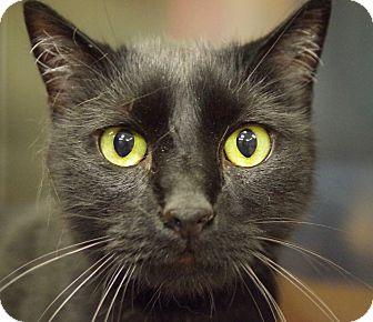 Domestic Mediumhair Cat for adoption in Daytona Beach, Florida - Kava Bear