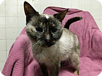 Siamese Cat for adoption in Oak Park, Illinois - Blu