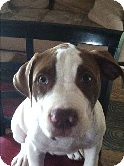 American Pit Bull Terrier Puppy for adoption in Sterling Heights, Michigan - Brutis