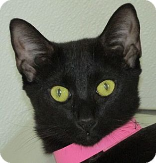 Domestic Shorthair Cat for adoption in Aiken, South Carolina - ONYX