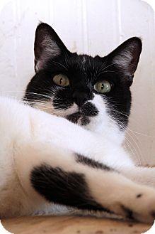 Domestic Shorthair Cat for adoption in St. Louis, Missouri - Shirley Caesar