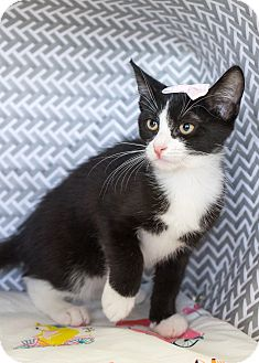 Domestic Shorthair Kitten for adoption in Montclair, California - Calzone