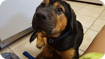 Shar Pei/Beagle Mix Dog for adoption in Akron, Ohio - Powell