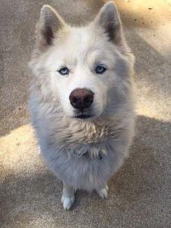 Samoyed/Siberian Husky Mix Dog for adoption in Pt. Richmond, California - SNOW KITTY