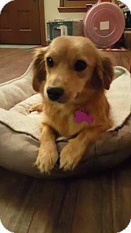 Dachshund Mix Dog for adoption in Manhattan, Kansas - Honey