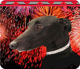 Greyhound Dog for adoption in Spencerville, Maryland - Wrigley