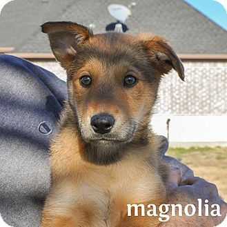 Shepherd (Unknown Type)/Terrier (Unknown Type, Medium) Mix Puppy for adoption in Plano, Texas - Magnolia