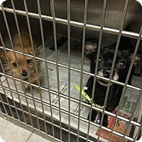 Adopt A Pet :: Lauren Bacall - Jersey City, NJ