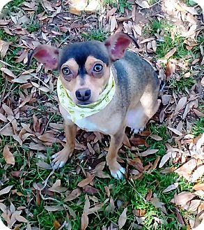 Terrier (Unknown Type, Small) Mix Dog for adoption in Vernon, Texas - Madrecita