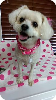 Poodle (Miniature)/Yorkie, Yorkshire Terrier Mix Dog for adoption in Chino Valley, Arizona - Tiki