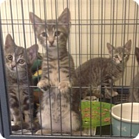 Domestic Shorthair Kitten for adoption in Freeport, New York - Angel