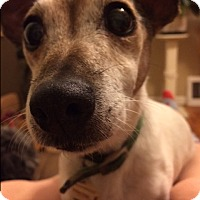 Adopt A Pet :: Squirt - Chesterfield, MO