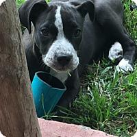 Adopt A Pet :: Daisy - Burlington, VT