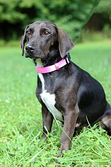 Basset Hound/Hound (Unknown Type) Mix Puppy for adoption in Waldorf, Maryland - Little Bit