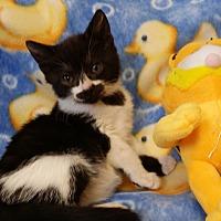 Adopt A Pet :: Cutie Pie - Berlin, CT
