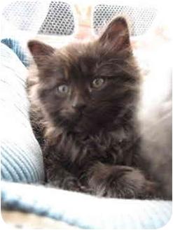 Domestic Mediumhair Kitten for adoption in Saanichton, British Columbia - Honda