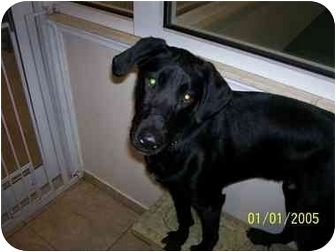 Labrador Retriever Mix Dog for adoption in Brooklyn, New York - Fulton