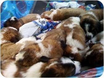 St. Bernard Puppy for adoption in Wayne, New Jersey - SAINT BERNARD