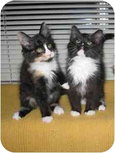 Maine Coon Kitten for adoption in Davis, California - Star & Holly