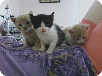 American Shorthair Kitten for adoption in Whitestone, New York - Bandit