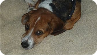 Beagle Dog for adoption in Raleigh, North Carolina - JANINE