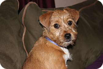 Jack Russell Terrier Mix Puppy for adoption in Kalamazoo, Michigan - Arie