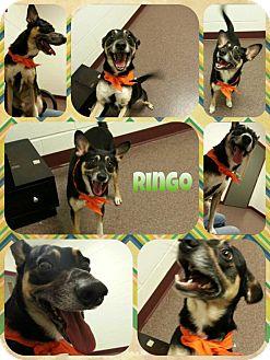 Terrier (Unknown Type, Medium) Mix Dog for adoption in Louisburg, North Carolina - Ringo