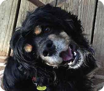 Cavalier King Charles Spaniel Dog for adoption in Schertz, Texas - Tess CS