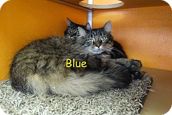 Maine Coon Cat for adoption in Elyria, Ohio - Blue