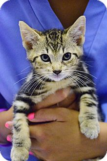 Domestic Shorthair Kitten for adoption in Bradenton, Florida - Boomer
