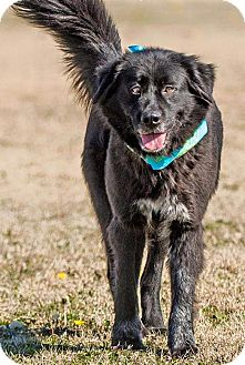 Border Collie/Great Pyrenees Mix Dog for adoption in plano, Texas - JJ  the Jewel