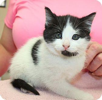Domestic Mediumhair Kitten for adoption in Cottageville, West Virginia - Brie