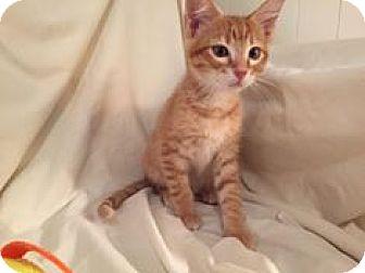 Domestic Shorthair Kitten for adoption in Arlington/Ft Worth, Texas - Duke