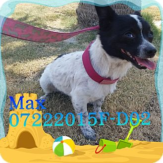 Terrier (Unknown Type, Small)/Chihuahua Mix Dog for adoption in DELANO, California - Max