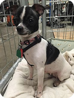 Chihuahua Dog for adoption in Hurst, Texas - Olivia