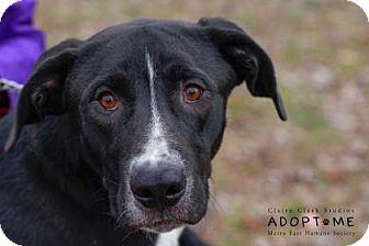 Labrador Retriever Mix Dog for adoption in Edwardsville, Illinois - Peter