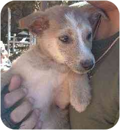Labrador Retriever/Husky Mix Puppy for adoption in Pine Valley, California - Daisy