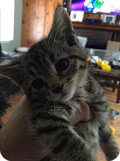 Domestic Shorthair Kitten for adoption in Bloomingburg, New York - MISHA