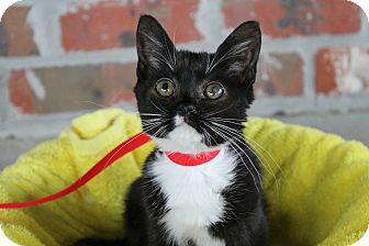 Domestic Mediumhair Kitten for adoption in Ocean Springs, Mississippi - Mouse