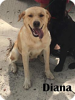 Labrador Retriever Mix Dog for adoption in Orangeburg, South Carolina - Diana