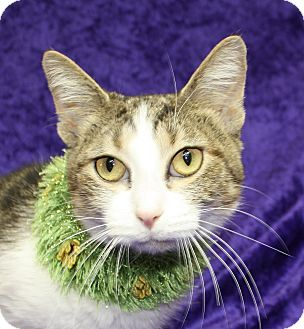 Domestic Shorthair Cat for adoption in Jackson, Michigan - Ally