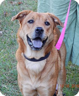 Husky/Retriever (Unknown Type) Mix Dog for adoption in West Sand Lake, New York - Angelia(45 lb) Good Family Pet