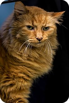 Domestic Mediumhair Cat for adoption in Indianapolis, Indiana - Will